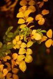 Foto van hond-roze bladeren en bessen De gouden Herfst stock afbeeldingen