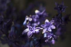 Foto van Hyacint met Helios 44-2 stock afbeelding