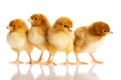 Foto van kleine leuke kippen Royalty-vrije Stock Afbeeldingen