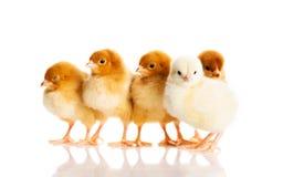 Foto van kleine leuke kippen Stock Foto