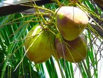 Foto van kokosnoot Stock Afbeelding