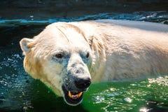 Foto van leuke witte ijsbeer Royalty-vrije Stock Foto's