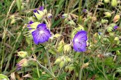 Foto van purper bloemenclose-up Stock Foto
