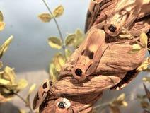 Foto van reuzediscoidalis van kakkerlakkenblaberus stock afbeelding