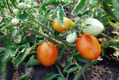 foto van rijpe tomaten Royalty-vrije Stock Afbeelding