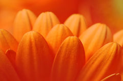Foto van rode gerberabloemblaadjes, macrofotografie en bloemenachtergrond Stock Foto