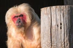Foto van rode onder ogen gezien stomp-de steel verwijderde van macaque aap bij Aapwereld in Dorset, het UK stock afbeelding