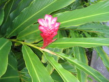 Foto van Roze Gember (Alpinia-purpurata) in Honolulu, Hawaï Royalty-vrije Stock Foto