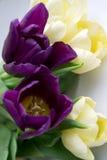 Foto van violette en gele tulpen Royalty-vrije Stock Afbeeldingen
