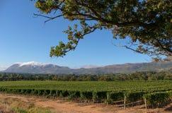 Foto van wijngaarden in Groot Constantia, Cape Town, Zuid-Afrika, dat op een duidelijke vroege ochtend wordt genomen Bergen in af royalty-vrije stock foto's