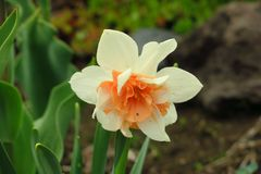 Foto van witte bloemennarcissen Achtergrondgele narcisnarcissen met gele knoppen en groene bladeren De bloem van de lente stock afbeelding