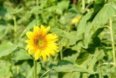 Foto van zonnebloem in het landbouwbedrijf Royalty-vrije Stock Fotografie