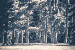 Foto velha do vintage Clareira dos troncos de árvores da floresta do parque Imagens de Stock Royalty Free