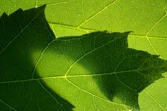 Foto verde-clara do macro das folhas de bordo Fotos de Stock