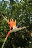 Foto vertical Closed acima do pássaro alaranjado vibrante da cor da flor de Paradise com profundo borrado - folha verde no fundo fotos de stock