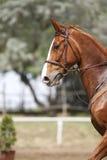 Foto vertical de um cavalo do esporte da castanha Fotos de Stock