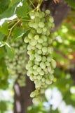 Foto verticale degli acini d'uva bianchi che appendono sulla vite Fotografie Stock