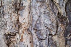 Foto vieja de la textura del primer de la corteza de roble Primer rústico del tronco de árbol Fotos de archivo