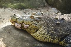 Foto vieja del primer de la cabeza del cocodrilo Dientes agudos del cocodrilo y piel escalada imagen de archivo