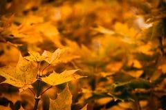 Foto von Ahornblättern auf einem Baum Goldener Herbst Heller roter, gelber, orange Hintergrund lizenzfreies stockfoto