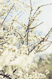 Foto von blühenden Baumbrunchs mit weißen Blumen Stockbild