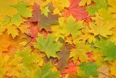 Foto von bunten Fallahornblättern des Herbstes Stockfoto