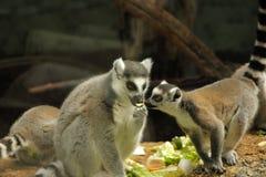 Foto von den Makis, die Grüns essen lizenzfreie stockbilder