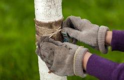Foto von Händen in den Handschuhen, die heilendes Band um Baum binden Stockfotografie