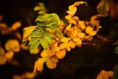 Foto von Hundrosenblättern und -beeren Goldener Herbst stockfotografie