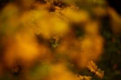 Foto von Hundrosenblättern und -beeren Goldener Herbst lizenzfreies stockbild