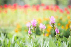 Foto von Kurkuma alismatifolia Blüte Lizenzfreie Stockfotografie