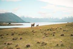 Foto von Schafen auf grünem Gras mit Fluss in den Bergen lizenzfreie stockfotografie