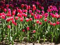Foto von Tulpen in der Sonne stockfotos