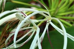Foto von weißen Blumen in der Natur oder in der Gartenarbeit Lizenzfreies Stockbild