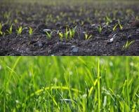 Wachsendes Gras in zwei Stadien Stockfoto