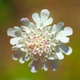 Foto witte bloem Royalty-vrije Stock Afbeelding