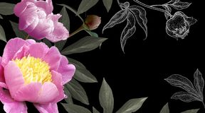 Foto y peonías rosadas de dibujo de las flores en fondo negro imagenes de archivo