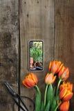 Foto y tulipanes que cultivan un huerto Fotos de archivo