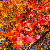 Fotoachtergrond met rode bladeren op een boomtak Royalty-vrije Stock Afbeeldingen