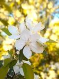 Fotoaprikons blommar/fruktträd av det tempererade klimatet Arkivbilder