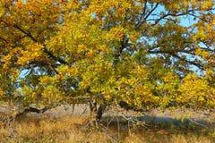 Fotoeik op een open plek in de herfst Royalty-vrije Stock Afbeelding