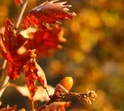Fotoeikels met eiken bladeren op de tak Royalty-vrije Stock Foto's