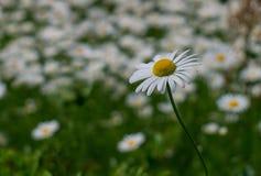 Fotoet av den härliga vita tusenskönan i fältet av den soliga dagen Royaltyfri Bild