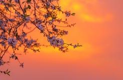 Körsbärsröd blomning över orange solnedgång Arkivfoto
