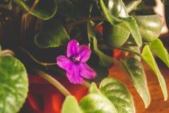 Fotoet av en grön vårblomma av violett färg royaltyfri foto
