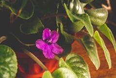Fotoet av en gr?n v?rblomma av violett f?rg royaltyfri bild
