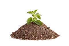 Fotoet av en mejram planterar att växa på en kulle av lera som isoleras på en vit bakgrund arkivfoto