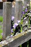 Fotoet av lilor sätter en klocka på på ett gammalt staket royaltyfri foto
