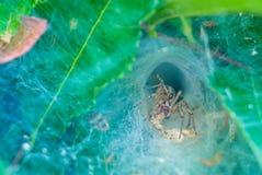 Fotoet av spindeln på teet Bush Arkivfoton