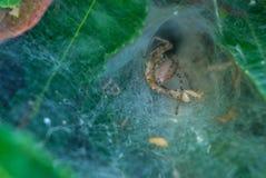 Fotoet av spindeln på teet Bush Royaltyfria Bilder
